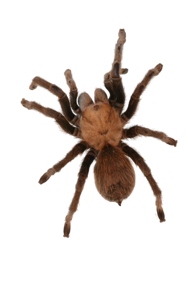 texas-brown-tarantula